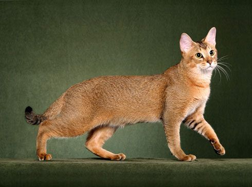 Top 10 Largest Domestic Cat Breeds in the World - Can you imagine yourself living with a fur friend that is cute in a large way? Now more than ever, a lot of cat lovers choose to breed and raise bigge... - chausie-cat-025 .