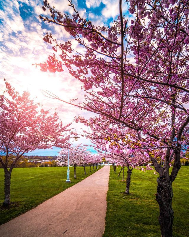 Hamiltons Cherry Blossoms Are Out Just Saying Head On Down To Bayfront Park Before They Disappear Sony A7riii Ro Cherry Blossom Instagram Park