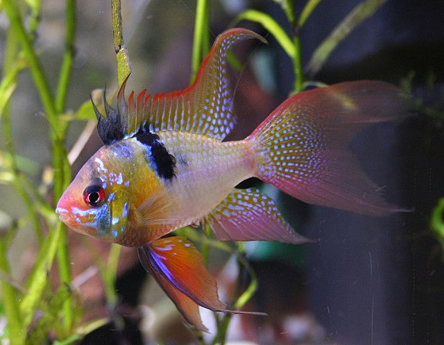 I Want one! Blue Ram Cichlid. Peaceful and should be kept with other small slow moving fish.