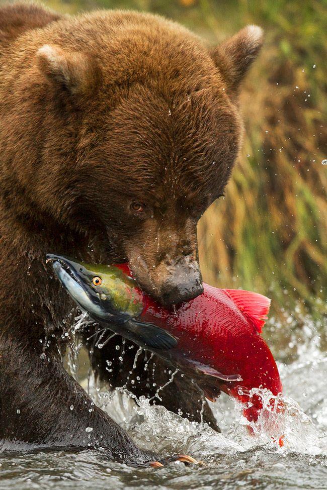 Bear with dinner