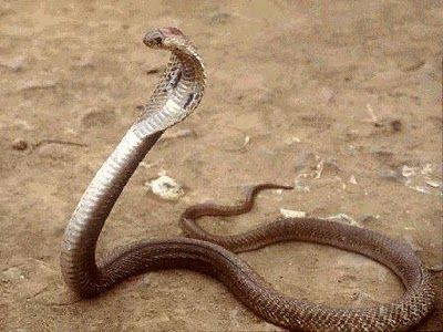 King Cobra  is a species of elapid snakes, typically characterized by their ability to expand the skin of their neck to form a hood when ...