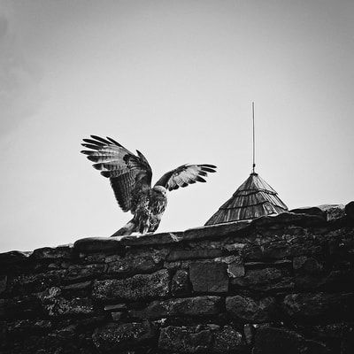 bwstock.photography - photo | free download black and white photos  //  #hawk