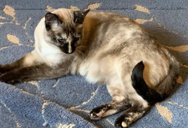 Adopt Monet On Homeless Pets Purebred Cats Cat Adoption