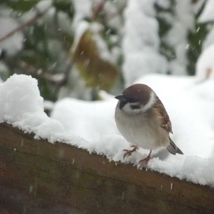 wróbelek / sparrow