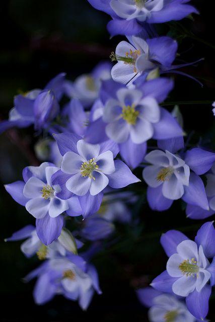 Columbine ~ Aquilegia flabellata