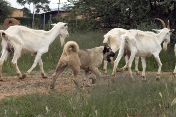 The Cheetah Conservation Fund's Livestock Guarding Dog program is a successful, innovative program that has been helping to save the wild cheetah in Namibia since 1994.