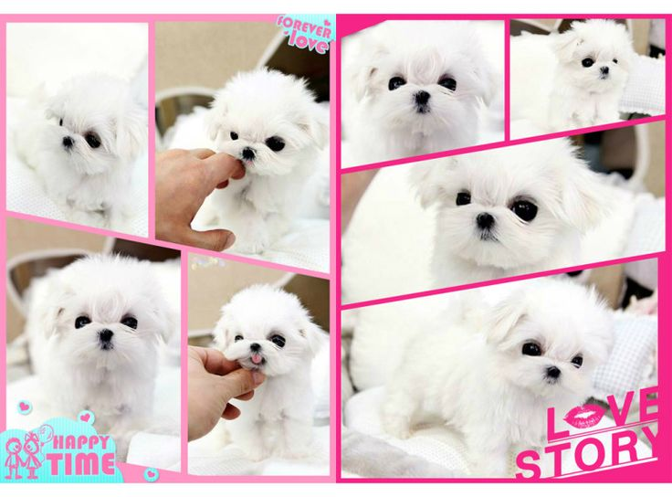 Teacup Fairies   TeacupFairies provides the highest quality teacup puppies including Yorkie puppies, Maltese puppies, Pomeranian puppies for sale.
