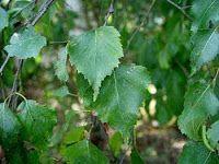 The healing properties of birch. /// Właściwości lecznicze brzozy.