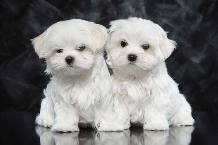 10 Dog Breeds With A Higher Life Expectancy Maltese Puppies For