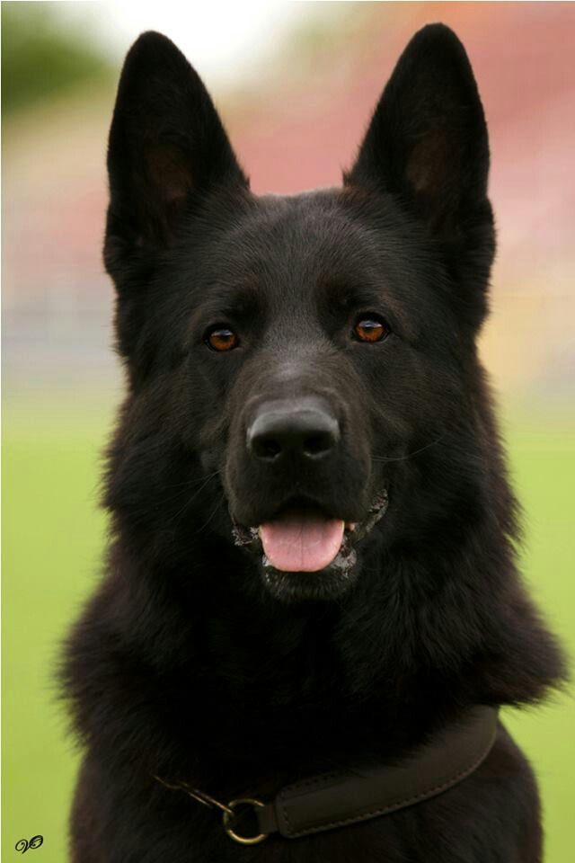 """Check me out on ""Doggie Suitors"".com!"" #dogs #pets #BlackGermanShepherds…"
