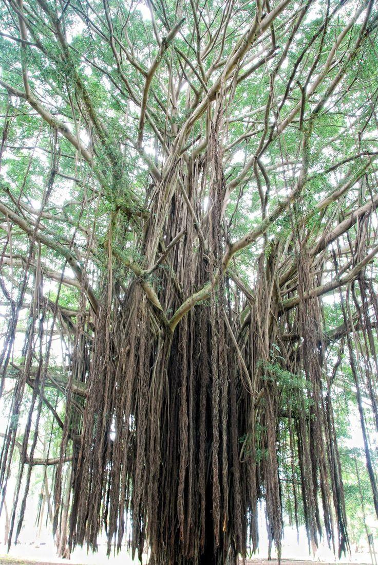 37 best hawaiian style mele images on pinterest hula for the hawaiian banyan tree hexwebz Choice Image