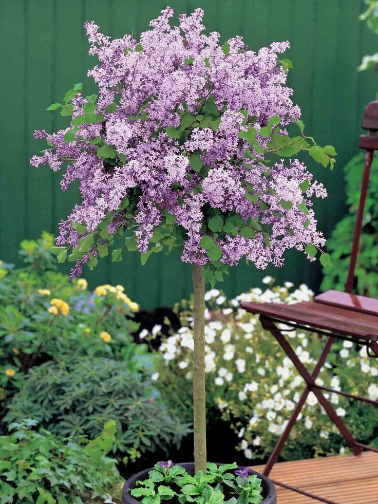 best 25 lilac tree ideas on pinterest lilac bushes. Black Bedroom Furniture Sets. Home Design Ideas