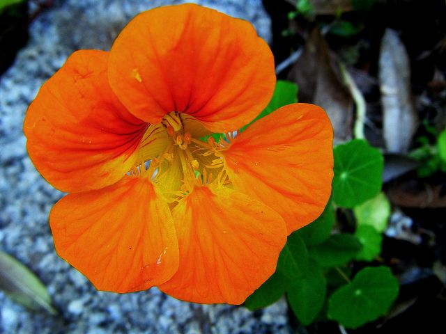 Tropaeolum Majus, Capuchina, taco de la reina, flor de la sangre,marañuela, mastuerzo de Indias, espuela de galán