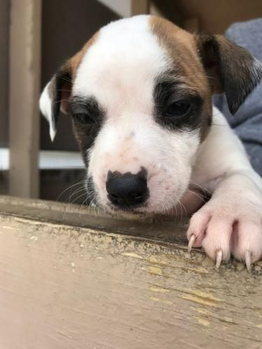 Freeport, FL - Meet Linny, an adoptable 2 month old female Boxer & Beagle Mix, looking for a forever home; Located at Alaqua Animal Refuge Freeport, FL