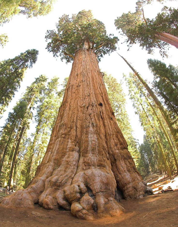 Tallest tree in the world - Giant Forest of Sequoia National Park in Tulare County, California