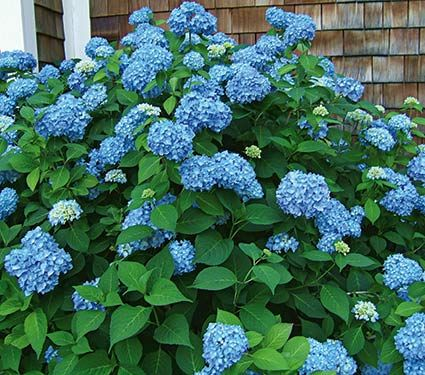 PLANT THIS FALL - plant along left fence in back Hydrangea Endless Summer® - 2 gallon pot