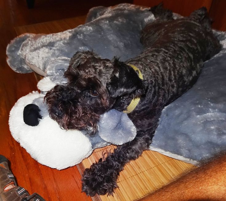Animal Pillow Chum Dog : 10+ images about Schnauzer Love on Pinterest Giant schnauzer, Schnauzer puppy and Mini ...