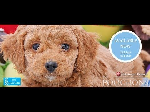 Poochon Puppies Bichon X Poodle For Sale In Hoppers Crossing Vic