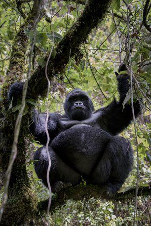 Mountain gorilla (Silverback)