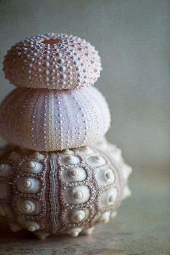 Three urchins....fine art sea shells photograph by Lauren Dinneweth