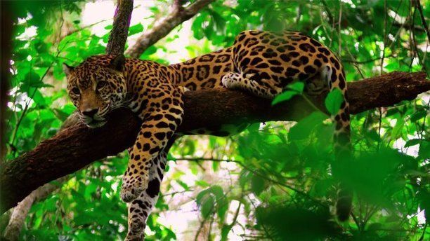 Cockscomb Basin Wildlife Sanctuary in Belize is internationally recognized as the world's first jaguar preserve