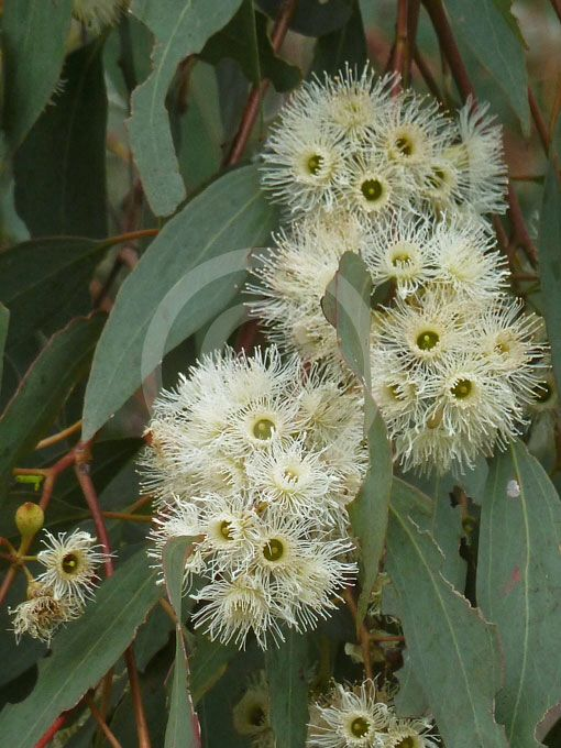Yellowbox (Eucalyptus melliodora) Medium sized to occasionally tall eucalypt, it is a common species in the grassy woodlands of the tablelands & the western slopes of the Great Dividing Range, from northern Victoria through NSW to southeastern Queensland.