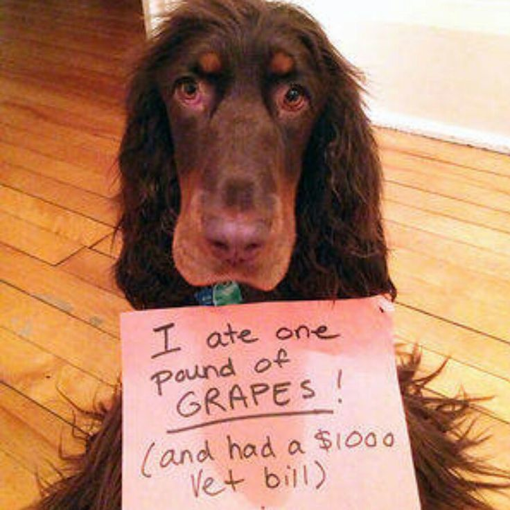 I ate grapes | Grapes, Dog shaming, Pet allergies