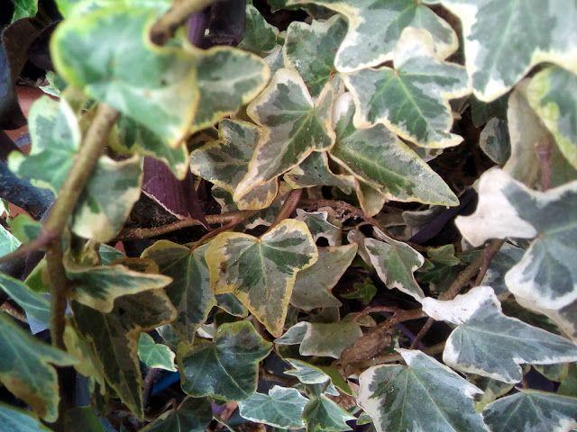 Las 25 mejores ideas sobre hedera helix en pinterest - Cultivo interior ikea ...