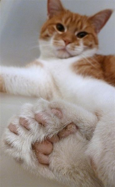 Polydactyl cat - My cat had back feet just like these.