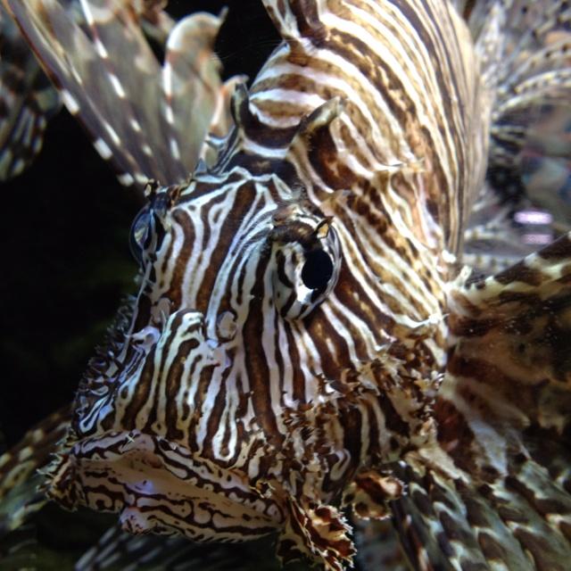 368 Best Images About Wallpaper On Pinterest: 368 Best Images About Lionfish On Pinterest