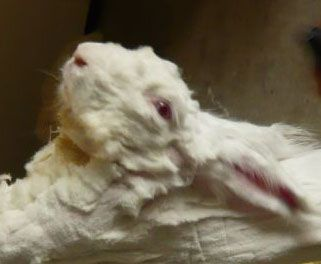 PLEASE HELP STOP THIS EVIL HAPPENING TO THE ANGORA RABBIT THIS IS JUST ONE OF THE PAINFUL IMAGES THESE BABIES ARE GROWN FOR THEIR WOOL AND THEN PLUCKED ALIVE SCREAMING IN PAIN ~ PLEASE STOP THIS NOW SIGN THE PETITION AND SHARE   http://action.peta.org.uk/ea-action/action?ea.client.id=5&ea.campaign.id=23870