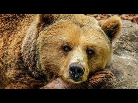 Documentary, Brown Bear, National Geographic, Watches