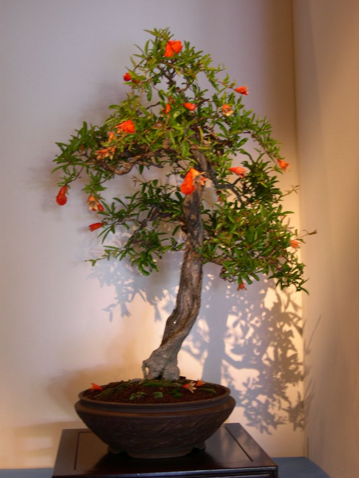 113 best bonsai flowering fruit images on pinterest