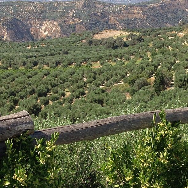 Olives, olives everywhere. Crete. Photo by jeannewmanglock