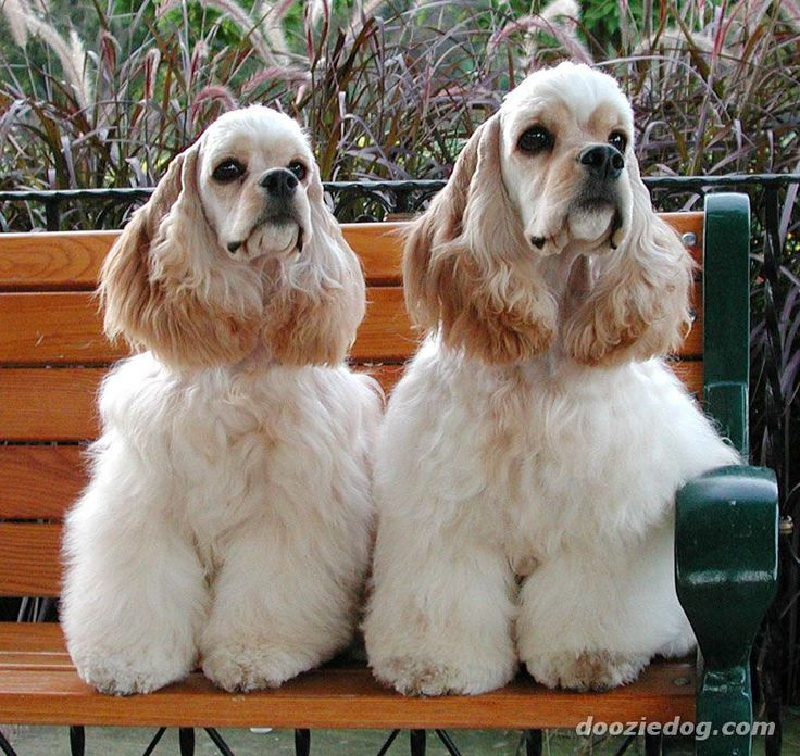 golden cocker spaniel puppies fluffy friends pinterest best 25 cockapoo grooming ideas on pinterest brown