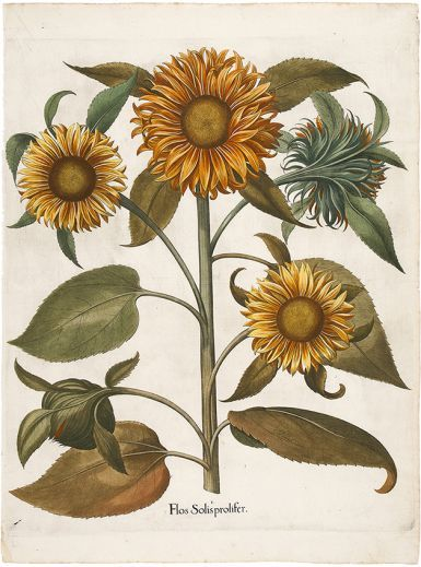 BESLER, Basilius. Flos Solis Prolifer. Original copper engraving with later hand colour. 1st edition, plate:205, 1613. #flora #botanical #print #RHSChelseaflowershow