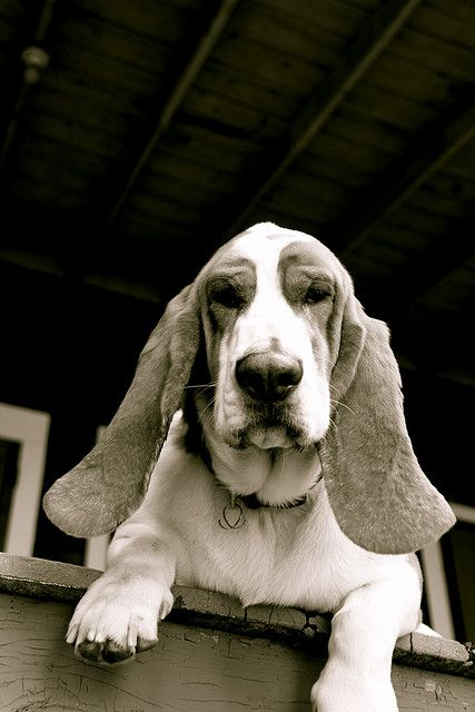a BASSET HOUND!!!!!!!!! AAHHH I LOVE THEM SO MUCH!!!!! Just look at that face!!!! Still need to get my second one!!