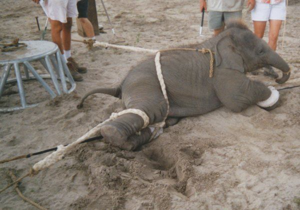 Another Broken Elephant Snaps and Kills | News | PETA Asia