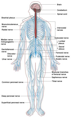 156 best images about body systems on pinterest | endocrine system, Muscles