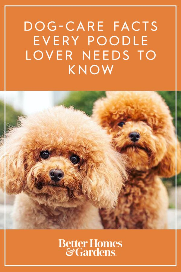 Dog Care Facts Every Poodle Owner Needs To Know Dog Care Poodle