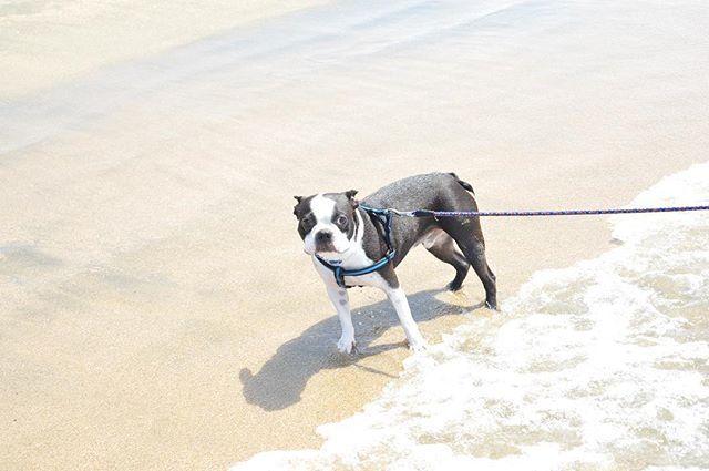 海に入りたい私 でも愛犬は砂浜を歩きたい 引っ張りあいっこだったわ🤦♀️ それにしても可愛い . #レンズ越しの私の世界#ファインダー越しの私の世界#一眼レフ#一眼レフ初心者#一眼レフ女子#一眼レフ練習中#マクロレンズ #ig_japan #photogenic #bostonterrier #小鉄#ボステリ#ボストンテリア#愛犬#フォトジェニック#photo#海#sea#dog#boy