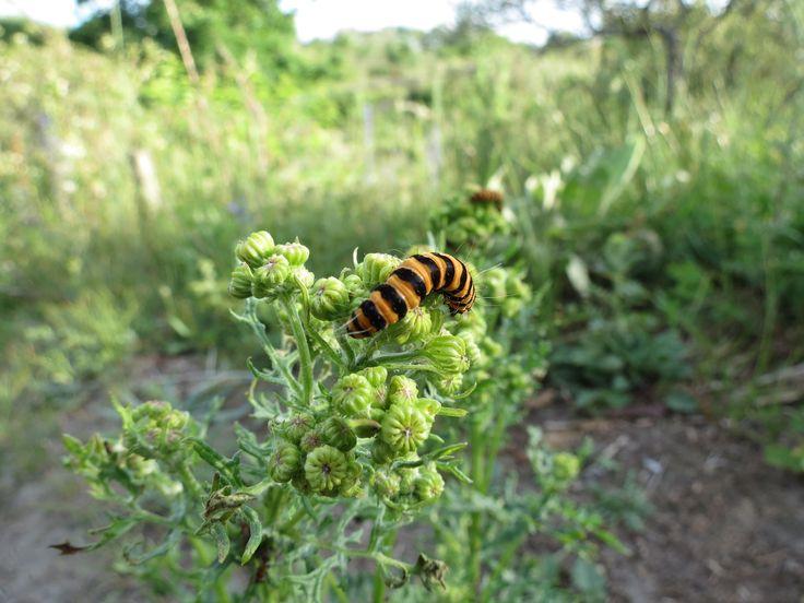 Rups Sint jacobs vlinder, Tyria jacobaeae