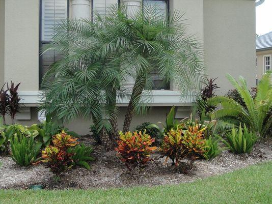 pygmy palm | Pygmy date palms are popular landscape focal points. (Photo: Special ...