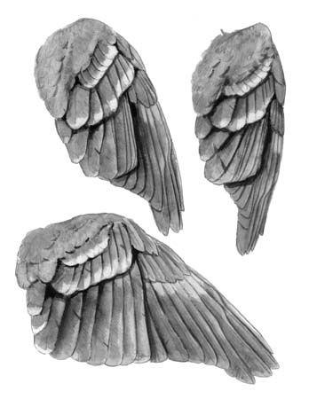 bird wings anatomy - 348×450