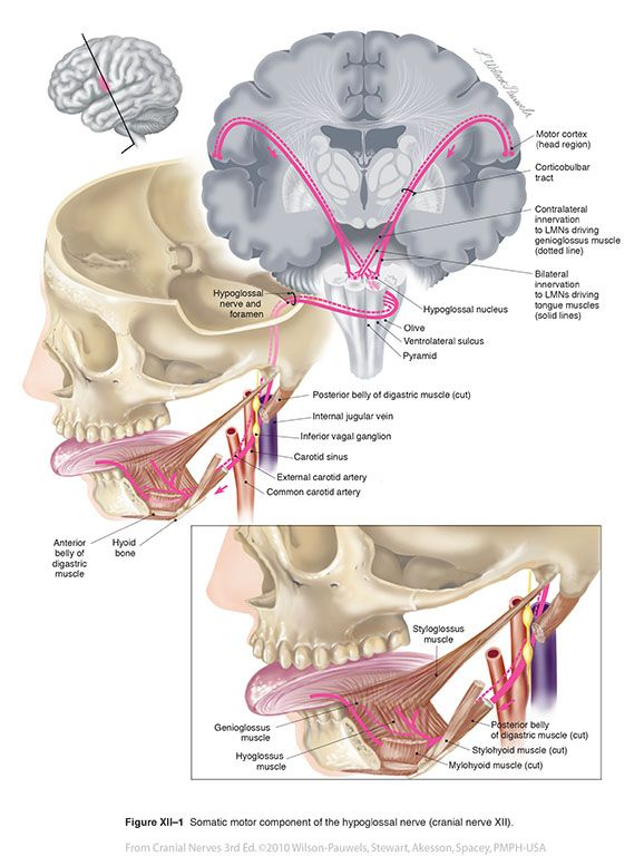 Cranial Nerve XII Hypoglossal | Figure XII–2 Route of the hypoglossal nerve through the hypoglossal ...   Bilateral innervation.