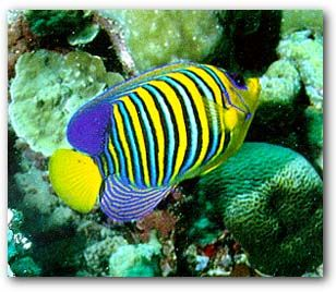 Red sea fish red sea pinterest for Red sea fish
