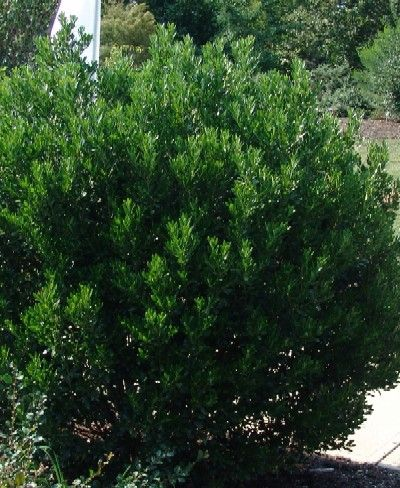 Native Ilex Glabra Red Tip Inkberry Holly An