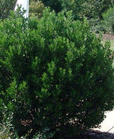 Native Ilex Glabra Red Tip Inkberry Holly An