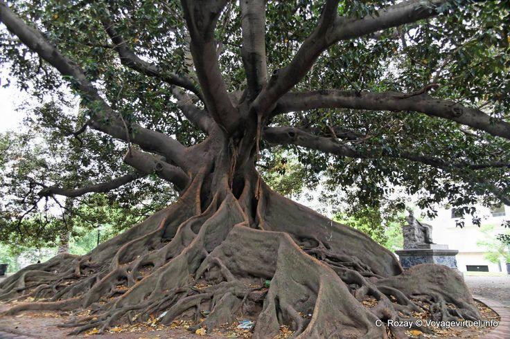 Plaza San Martín de Tours, árbol gigante, Buenos Aires - Argentina