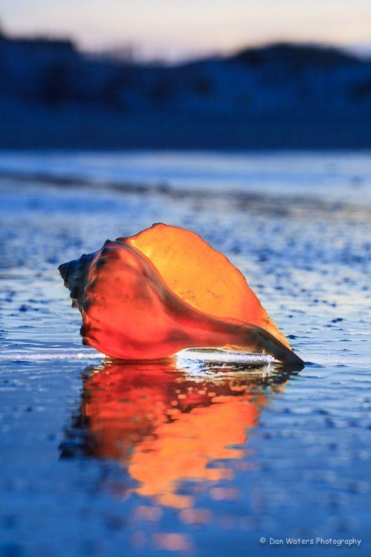 Beautiful Whelk Shell